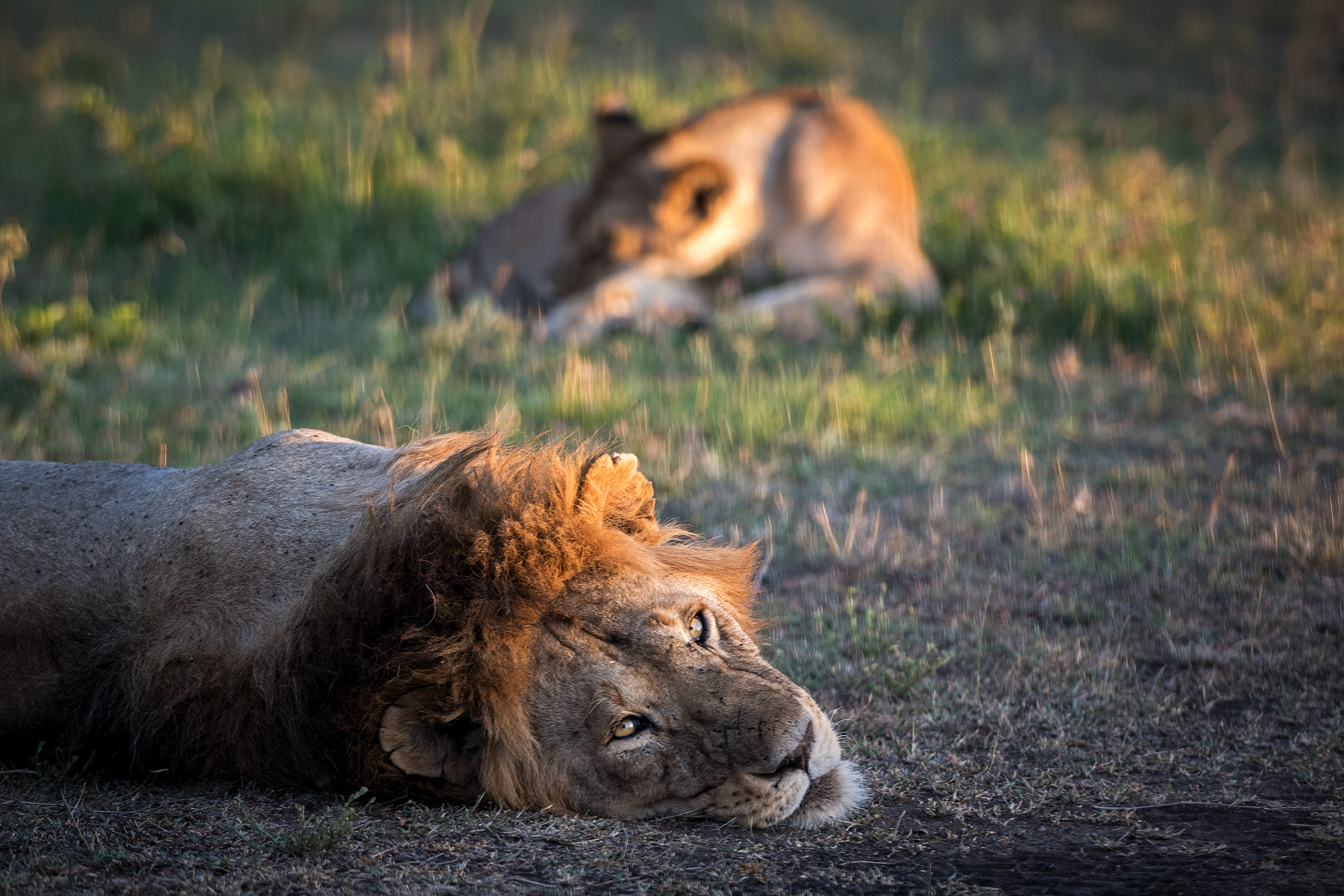 Scott: It was remarkable to me how close we could get to lions when in the Land Cruiser—and how indifferent they were about our presence.  Wannapha: Obviously, Chris and Scott were interfering with the lion's nap. I'm surprised they both made it back.