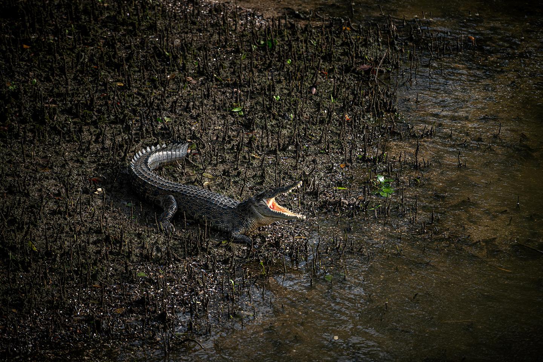 An Estuarine Crocodile basks in the early morning sun.
