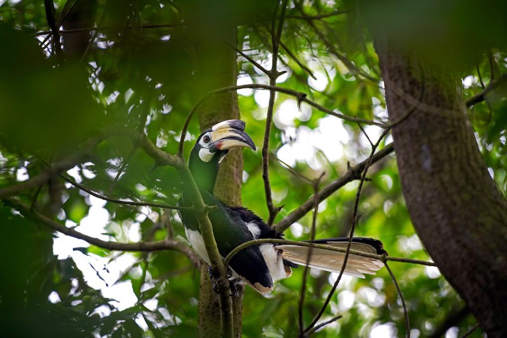 Oriental Pied Hornbill.