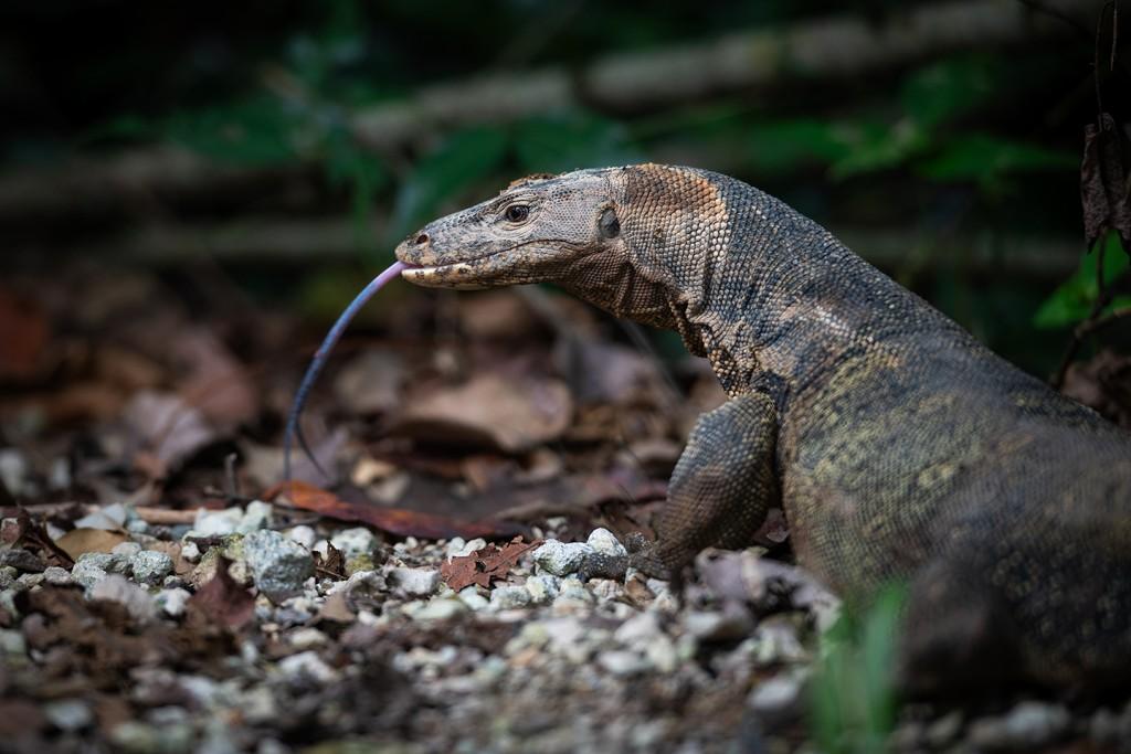 Malayan Water Monitor Lizard.